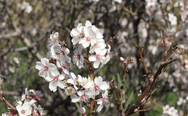 Flores de almendro en Arenas.