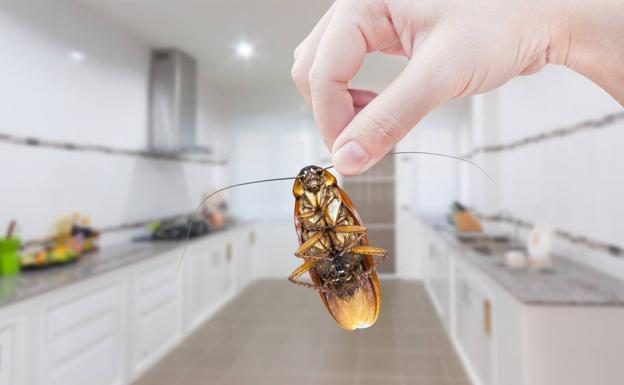 Remedios Para Evitar Que Haya Cucarachas En Casa Este Verano Diario Sur