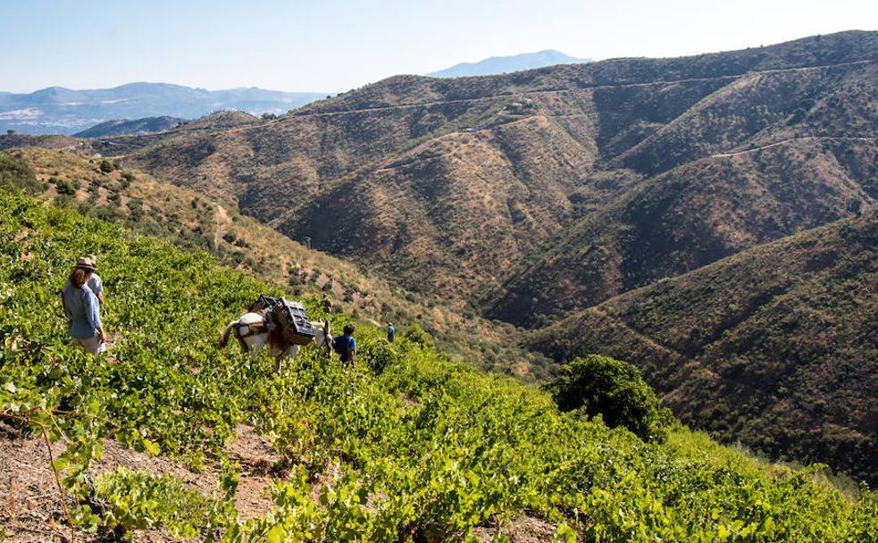 el vino vuelve a brotar de los montes de málaga diario sur
